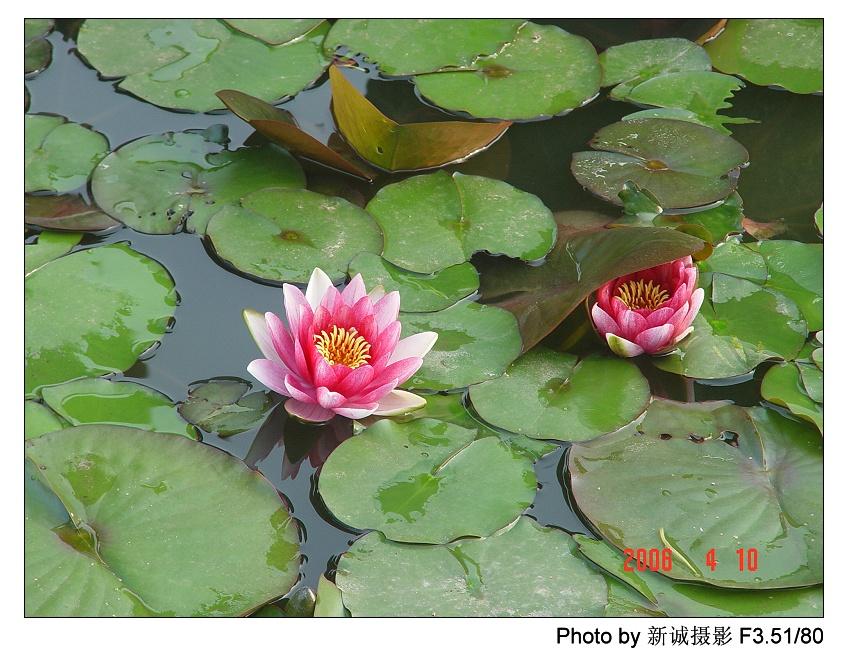 水莲花的养法_莲花摄影图_水莲花_花草_生物